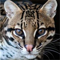 rescue ocelot texas sanctuary