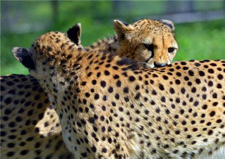cheetah brother love