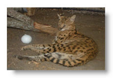 dakota the serval