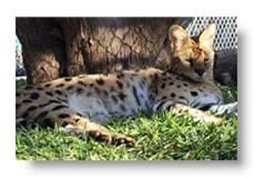 jasi the serval