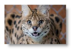 nefertiti the serval