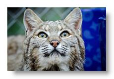 nola the bobcat