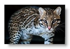 Quisto the Ocelot