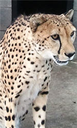 Sam the cheetah