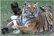 tiger and toys