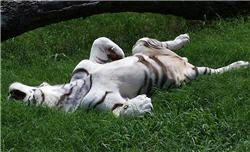 white tiger rolling in the grass