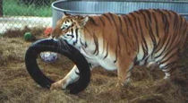 tiger playing with a tire