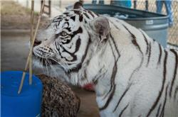curious white tiger