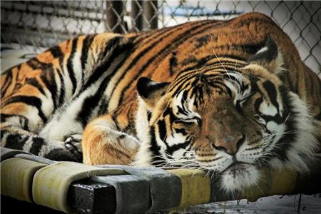 tiger napping