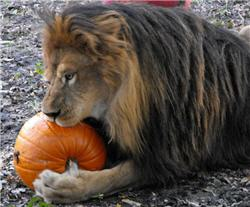 lion eating pumpkin