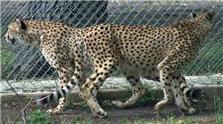 cheetah brothers pacing