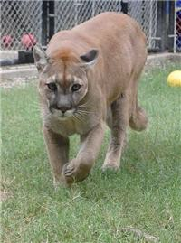 rescue cougar walking