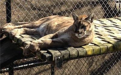 resting cougar
