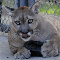 silly cougar