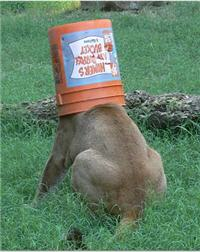 bucket head rescue cougar