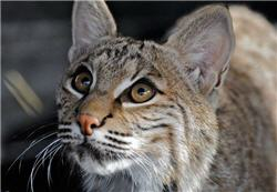 curious rescue bobcat