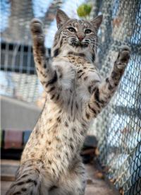 playful bobcat