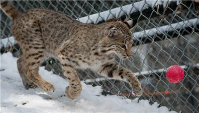 bobcat running snow ball