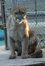 cougars are not pets