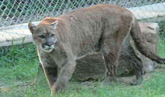 charlie the cougar
