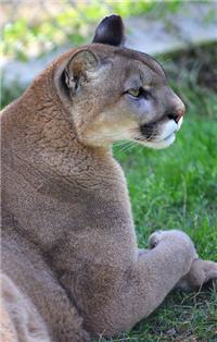 rescue cougar relaxing