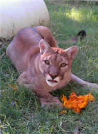 cougar eating pumpkin