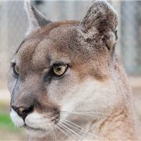 crimson the cougar