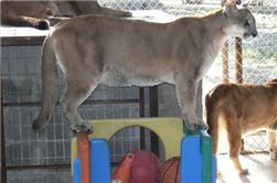 cougar on a play house