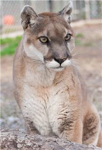 gorgeous rescue cougar