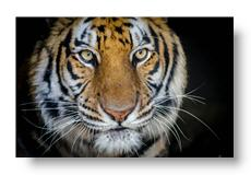 cypress the tiger