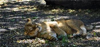 rescue lion napping
