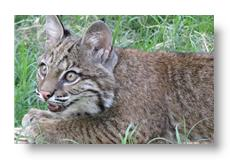 gideon the bobcat