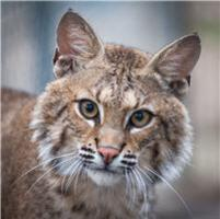 goliath the bobcat