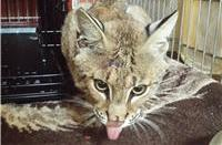 bobcat tongue out