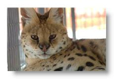 gypsy the serval