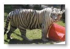 Harley the tiger