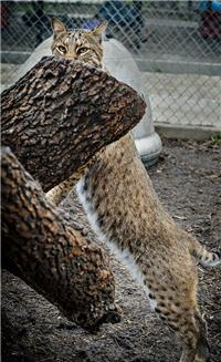 rescue bobcat sanctuary
