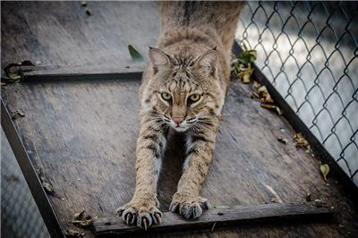 stretching rescue bobcat