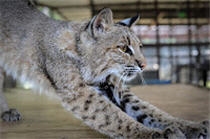 rescue bobcat stretching