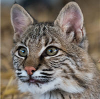 jezebel the bobcat