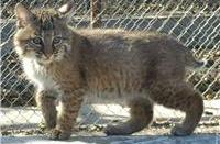 happy rescue bobcat