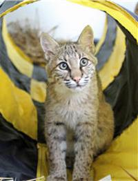 bobcat in a tube
