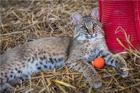 bobcat relaxing in hay