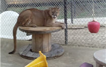 rescue cougar perched