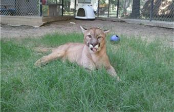 rescue cougar in grass