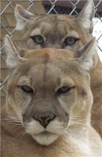 bundle of cougars