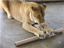 rescue lion playing