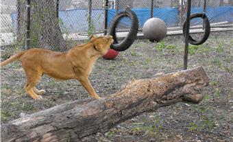 sanctuary playground lion