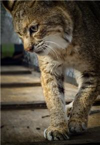 curious bobcat walking