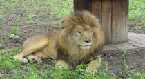 rescue lion relaxing